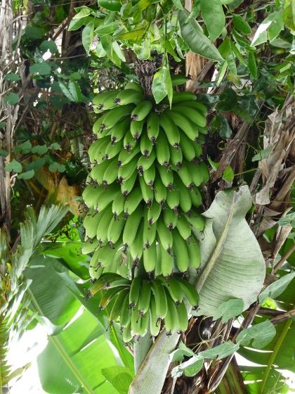 comment cuisiner des bananes plantain ou patacones blog voyage en am rique du sud. Black Bedroom Furniture Sets. Home Design Ideas
