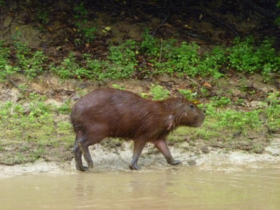 capibara-une-sorte-de-gros-rat