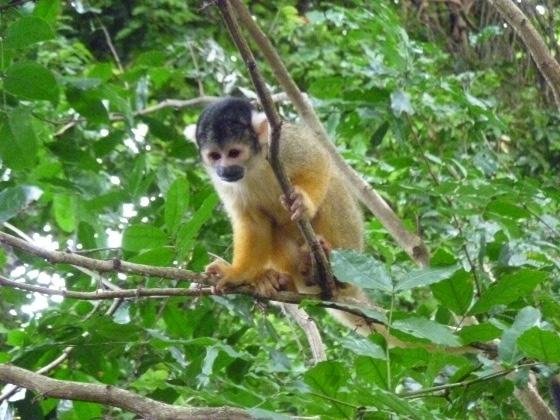 singe-ecureuil-mono-ardillo